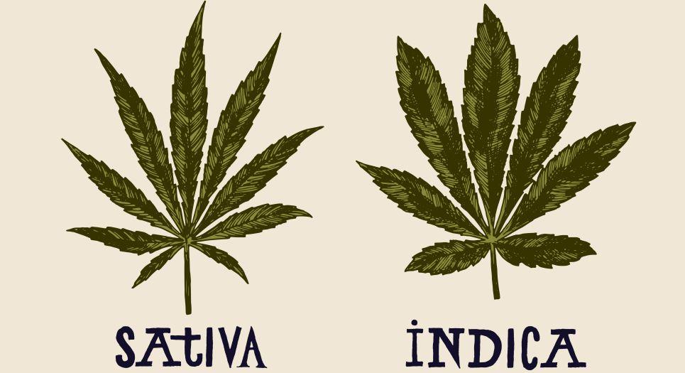 Indica versus sativa marijuana leaves