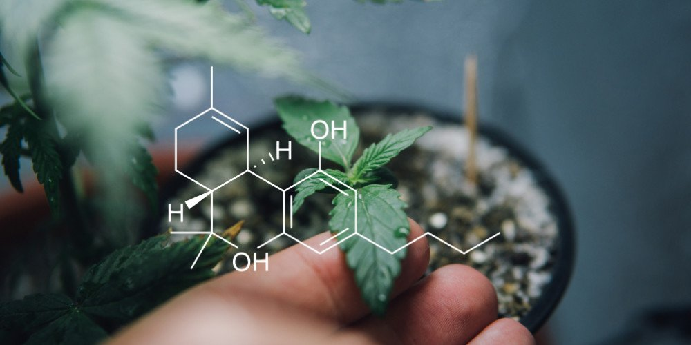 Cannabinoids and chemicals in cannabis