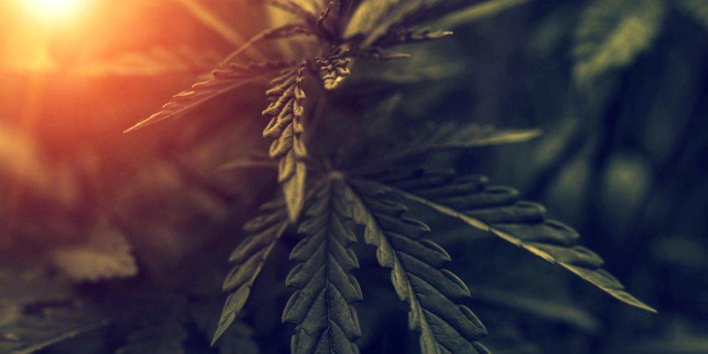 Cannabis plant up close