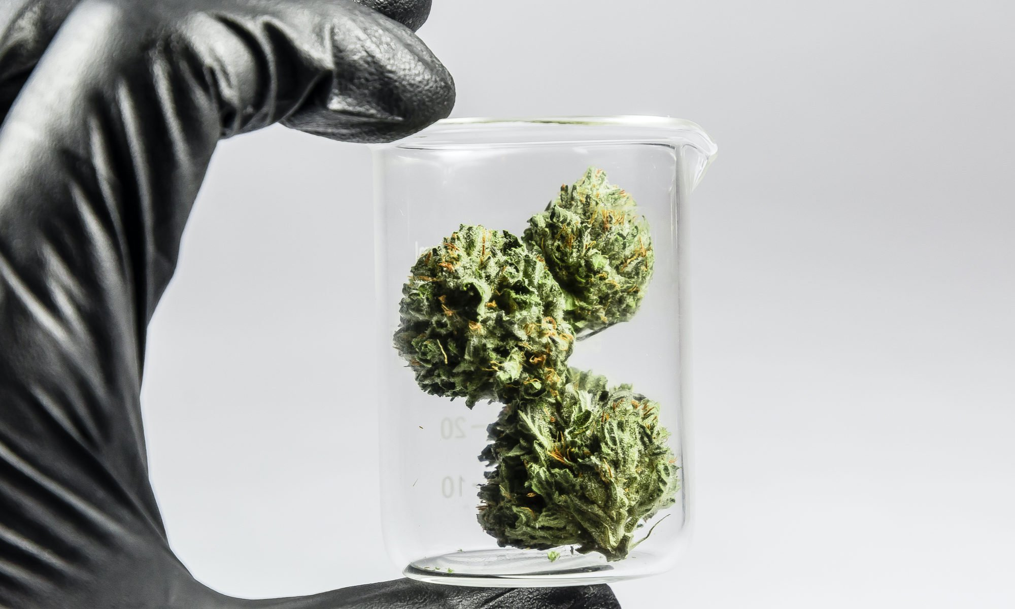 quality cannabis